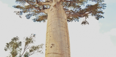 A picture from allée de baobabs by Nograd