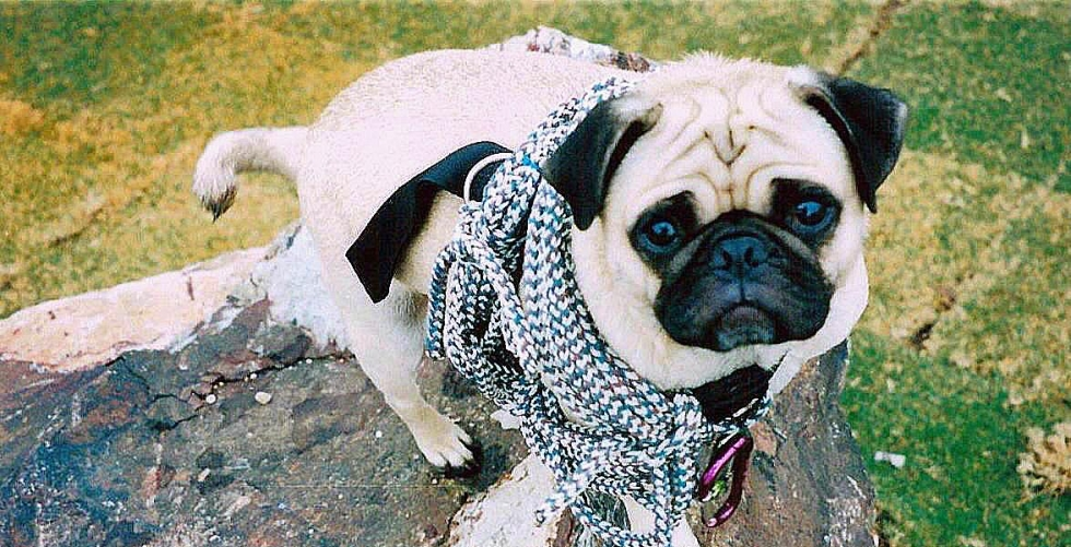 Vinny THE PUG & Climbing mag. in Camelback Mountain, Phoenix...