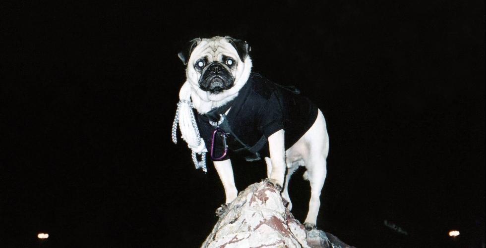 Vinny the Pug's Night Climb in Camelback Mountain
