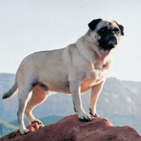 Vinny the Pug at Mt. Sedona by Vinny the Pug